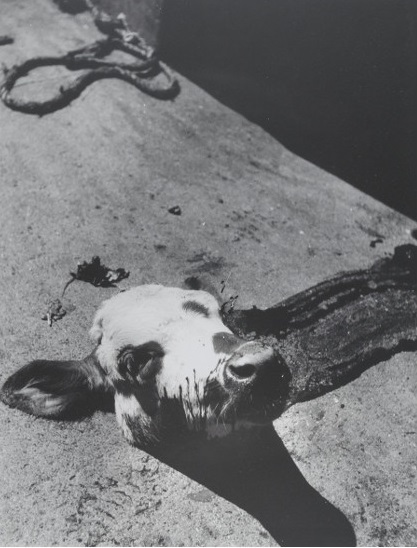 Madame d'Ora – Seperated Calf's Head , before 1958, from the Slaughterhouse series, gelatin silver print, 31,7 x 24,5 cm.jpg