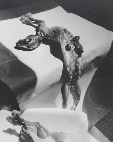 Madame d'Ora – Skinned Rabbit Body, before 1958, from the Slaughterhouse series, gelatin silver print, 29,3 x 23,5 cm.jpg