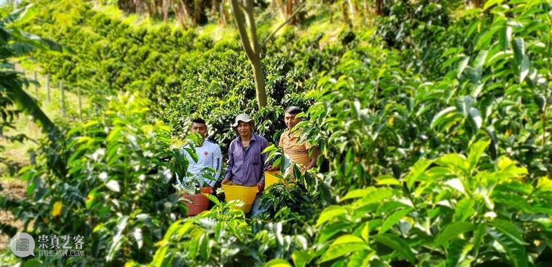 咖啡拍卖第6期 | 买咖啡?拍一拍!——哥伦比亚丰饶之境咖啡专场来了 哥伦比亚 咖啡 专场 About 丰饶 前情 国内 人们 BOP 巴拿马 崇真艺客