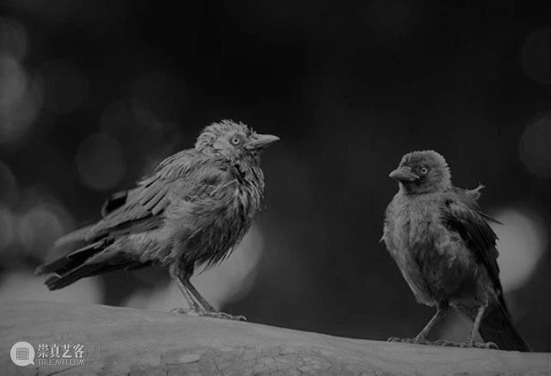 你会找到答案的,在孟京辉打造的梦里 孟京辉 答案 穴鸟 英文 jackdaw 寒鸦 体长 体型 黑色 灰色 崇真艺客