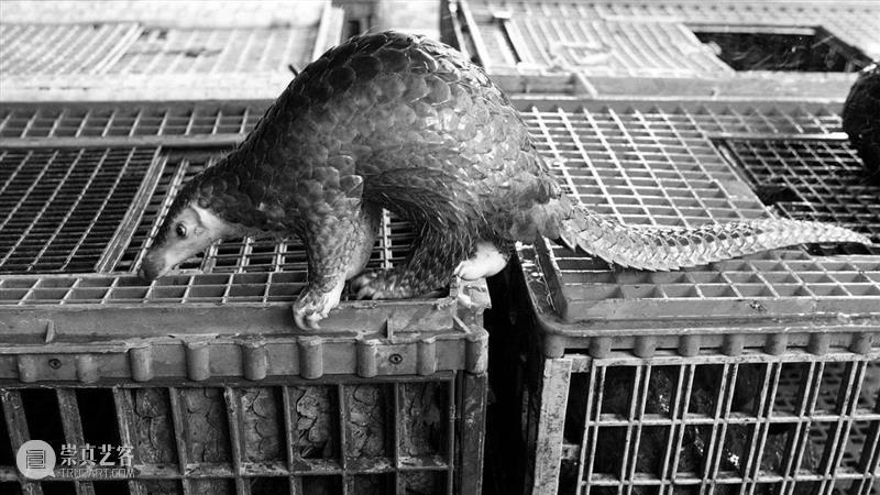 拯救野生动物计划也许弊大于利 野生动物 计划 GETTY利维坦 买卖 宣传语 要害 问题 背后 利益 暴利 崇真艺客