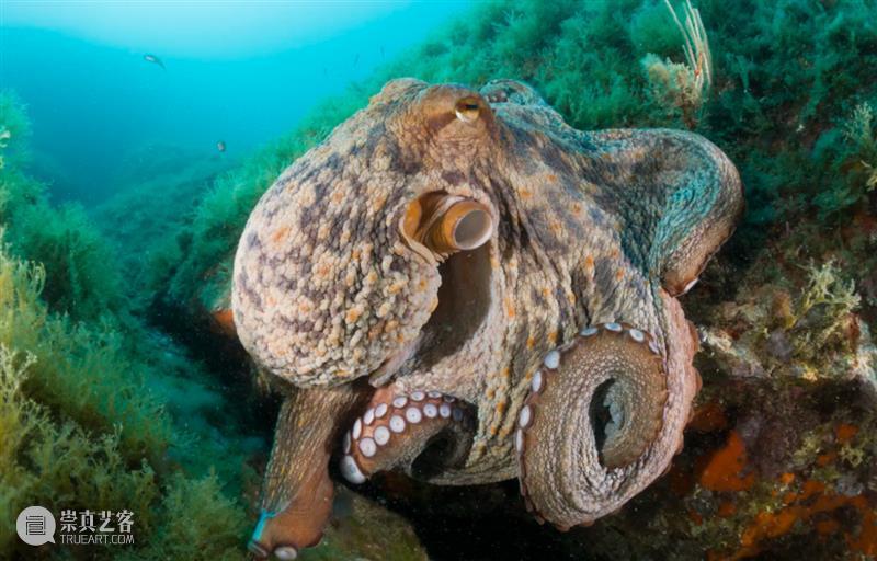 为啥章鱼会互喷(扔)东西? 章鱼 东西 同行 澳大利亚 之间 碎石 Smith 利维坦 双鱼 西班牙 崇真艺客