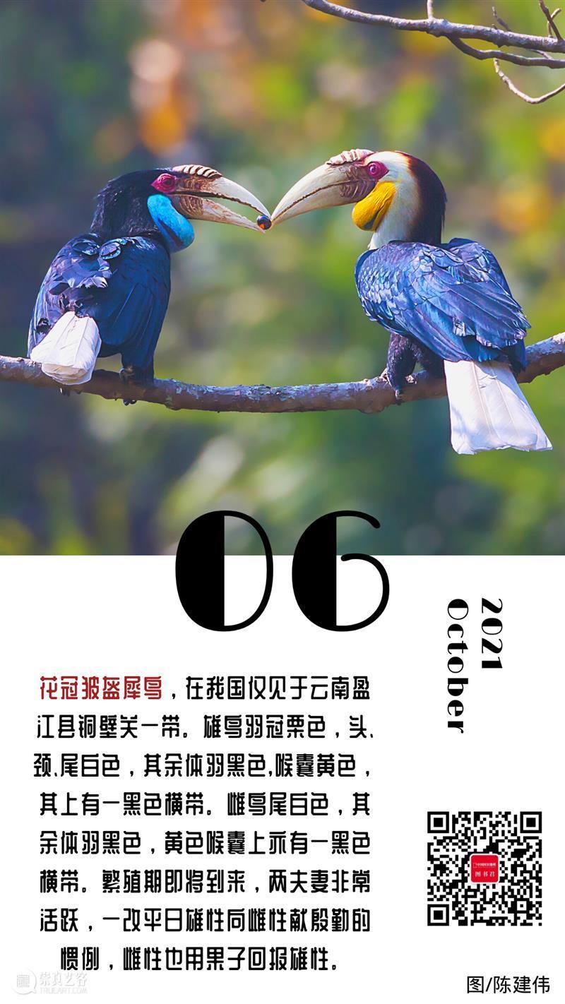 【日签】\n花冠皱盔犀鸟,在我国仅见于云南盈江县铜壁关一带,雄鸟羽冠栗色,头、颈、尾白色,其余体羽黑色,喉囊黄色,其上有一黑色横带。雌鸟尾白色,其余体羽黑色,黄色喉囊上亦有一黑色横带。繁殖期即将到来,两夫妻非常活跃,一改平日雄性向雌性献殷勤的惯例,雌性也用果子回报雄性。 花冠皱盔犀鸟 云南 盈江县 铜壁关 一带 雄鸟 栗色 白色 体羽 黑色 崇真艺客