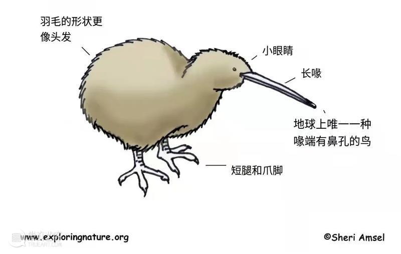 几维鸟:你说谁是行走的猕猴桃? 猕猴桃 几维鸟 奇异鸟 奇异果 豆豆眼 短腿 身材 翅膀 尾巴 样子 崇真艺客